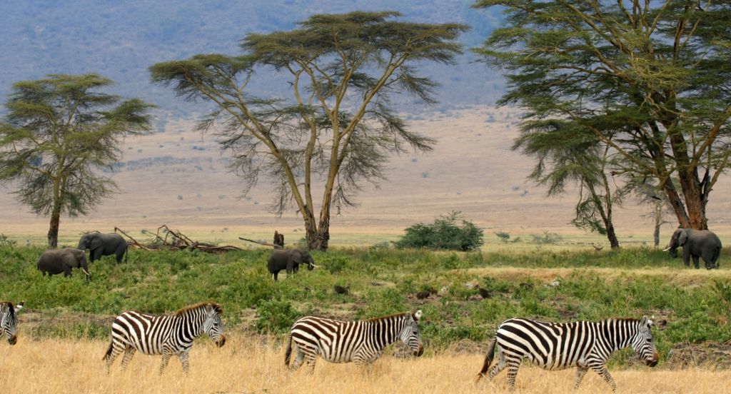 """Zebras, Serengeti savana plains, Tanzania"" by Gary - Wikipedia"